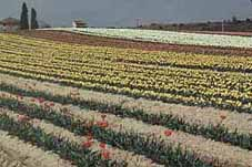 Pic: Tulip mother bulbs grown in Provence for export to Holland